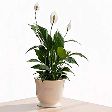PEACE LILLY nasa guide to air-filtering houseplants