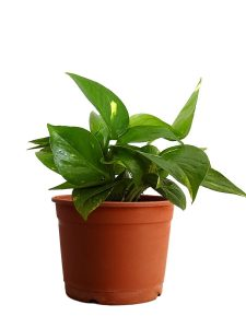 money plant nasa guide to air-filtering houseplants